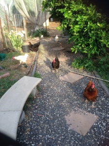 Half of the flock running around in the garden.