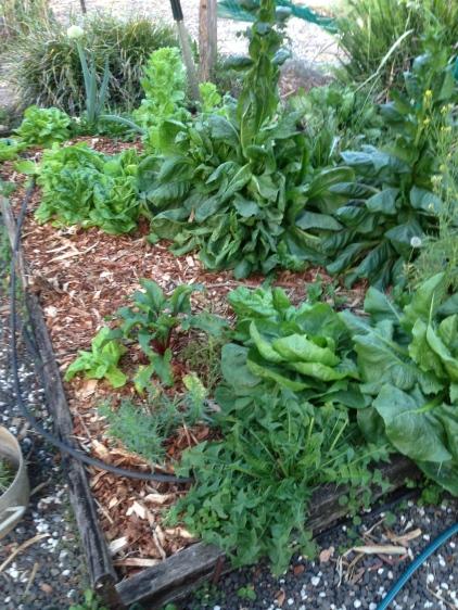 Veggi garden with wood chips